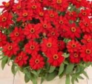 ZINNIA PROFUSSION RED (240 Plantas).