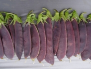Guisantes con Vainas de Color Purpura.