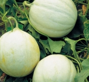 Semillas de melon f1