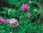 Semillas de Trébol Híbrido o Trifolium Hybridum