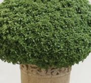 ALBAHACA ARISTOTLE (240 Plantas).
