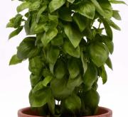 ALBAHACA EVERLEAF (240 Plantas).