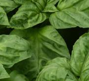 ALBAHACA NEWTON (240 Plantas).