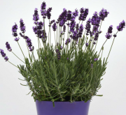 LAVANDULA AVIGNON EARLY BLUE (144 Plantas).