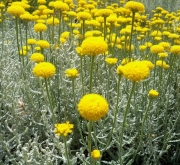 SANTOLINA (125 Plantas).