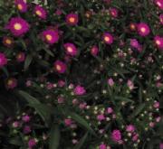 ASTER TIARA ROYAL PINK (125 Plantas).