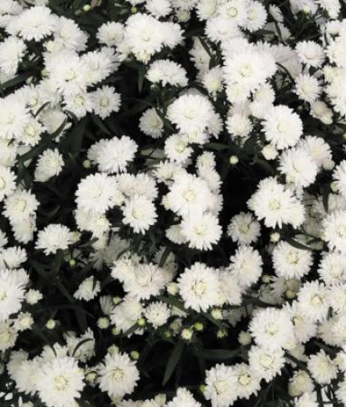 ASTER SHOWMAKERS SNOW WHITE (125 Plantas).