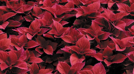 COLEUS SUNFIGHTER RED HEAD (84 Plantas).