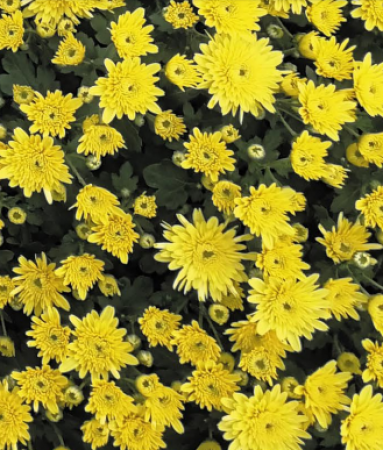 CRYSANTHEMUM SORRENTO YELLOW (125 PLantas).