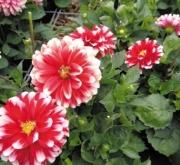 DAHLIA MAXI MÉRIDA (84 Plantas).