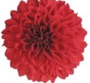DAHLIA MAXI TOPIA (84 Plantas).