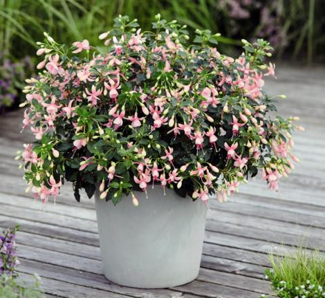 FUCHSIA DIVA BRIDAL PINK (125 Plantas).