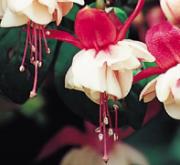 FUCHSIA SWINGTIME (125 Plantas).