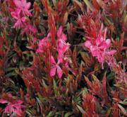 GAURA GAUDI RED (125 Plantas).