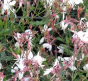 GAURA GAUDI WHITE (125 Plantas).
