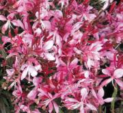 GAURA GAUDI ROSE (125 Plantas).