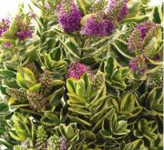 HEBE KATRINE (125 Plantas).