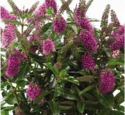 HEBE PAULA (125 Plantas).