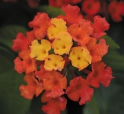 LANTANA LUCKY RED FLAME (125 Plantas).