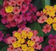 LANTANA LUCKY ROSE SUNRISE (125 Plantas).