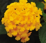 LANTANA LUCKY POT OF GOLD (125 Plantas).