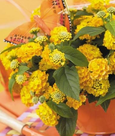 LANTANA LUCKY YELLOW (125 Plantas).