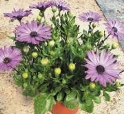 OSTEOSPERMUM ASTRA LAVANDER (125 Plantas)