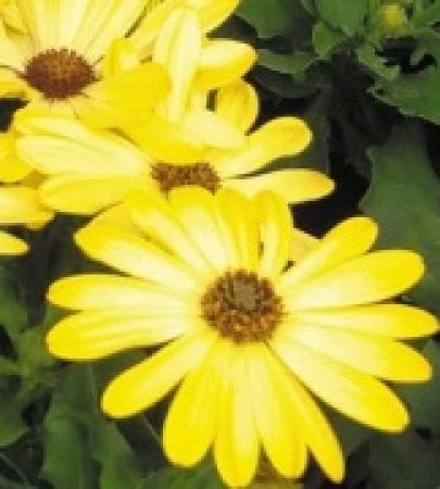 OSTEOSPERMUM DALINA LEONA (125 Plantas).