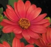 OSTEOSPERMUM DALINA RUBINA (125 Plantas).