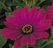 OSTEOSPERMUM DALINA ELENA (125 Plantas).