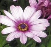 OSTEOSPERMUM DALINA FELICITY (125 Plantas).