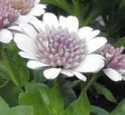 OSTEOSPERMUM DALINA DOUBLE PEDRO (125 Plantas).