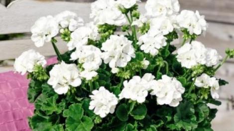 GERANIO ZONALE TOSCANA TREND WHITE (LASSE) HV (84 Plantas).