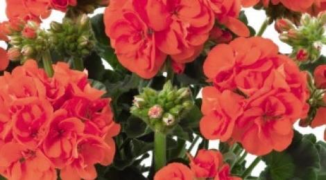 GERANIO ZONALE TOSCANA SMART ORANGE (AURORA) HV (125 Plantas)