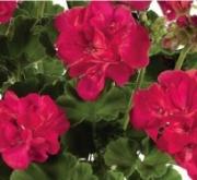 GERANIO ZONALE TOSCANA PURPLE RED HV (84 Plantas)