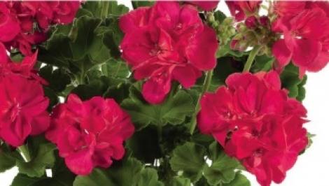 GERANIO ZONALE TOSCANA FRAUKE PURPLE RED HV (125 Plantas)
