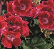 GERANIO ZONALE TOSCANA RED EYE HN (84 Plantas).