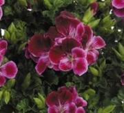 GERANIO CRISPUM ANGELEYES BURGUNDY (84 Plantas).
