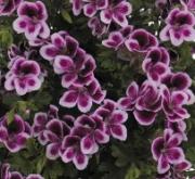 GERANIO CRISPUM ANGELEYES RANDY (84 Plantas).