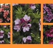 GERANIO CRISPUM ANGELEYES MIX (84 Plantas).