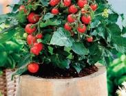 Semillas de Verduras Míni