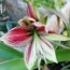 amaryllis papilio donde comprar