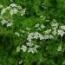 cilantro ecologico