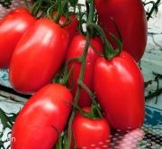 Variedad tomate Turpino