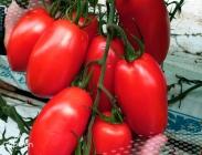 Semillas de Tomates de Pera de Encañar