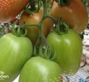 Semillas de tomate Olivero