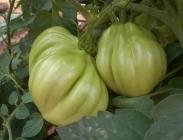 Semillas de Tomates del Tipo Liguria y Corazón