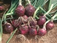 Semillas de Cebollas Rojas de Día Intermedio