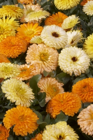 CALENDULA PACIFIC BEAUTY - Comestible (50 gr.).