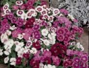 Dianthus Hibridos (Claveles)